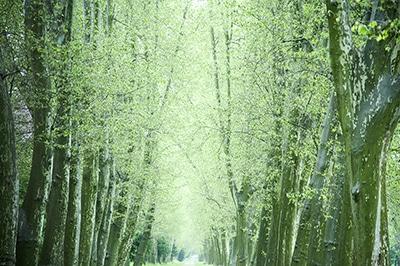 Die Farben der Natur im Frühling. Filigranes helles Grün und dunkle nasse Stämme nach Regenschauern in der Platanenallee im Park.