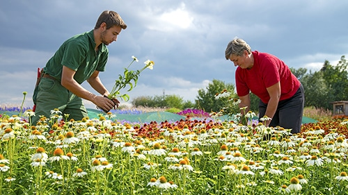 Zwei Gärtner im Gegenlicht vor dunklen Wolken bei der Blumen-Ernte auf dem sonnigen bunten Feld.